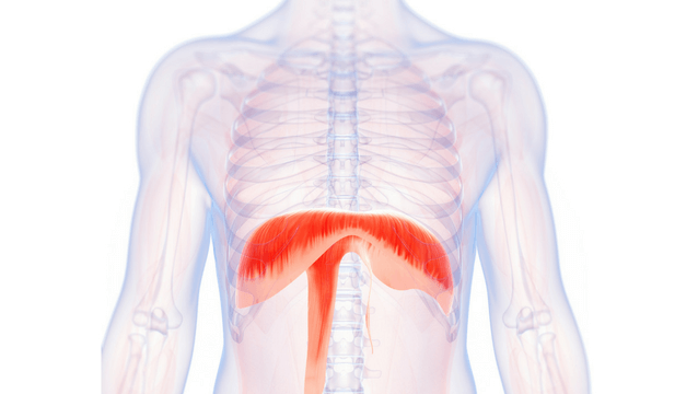 The Importance of the Diaphragm